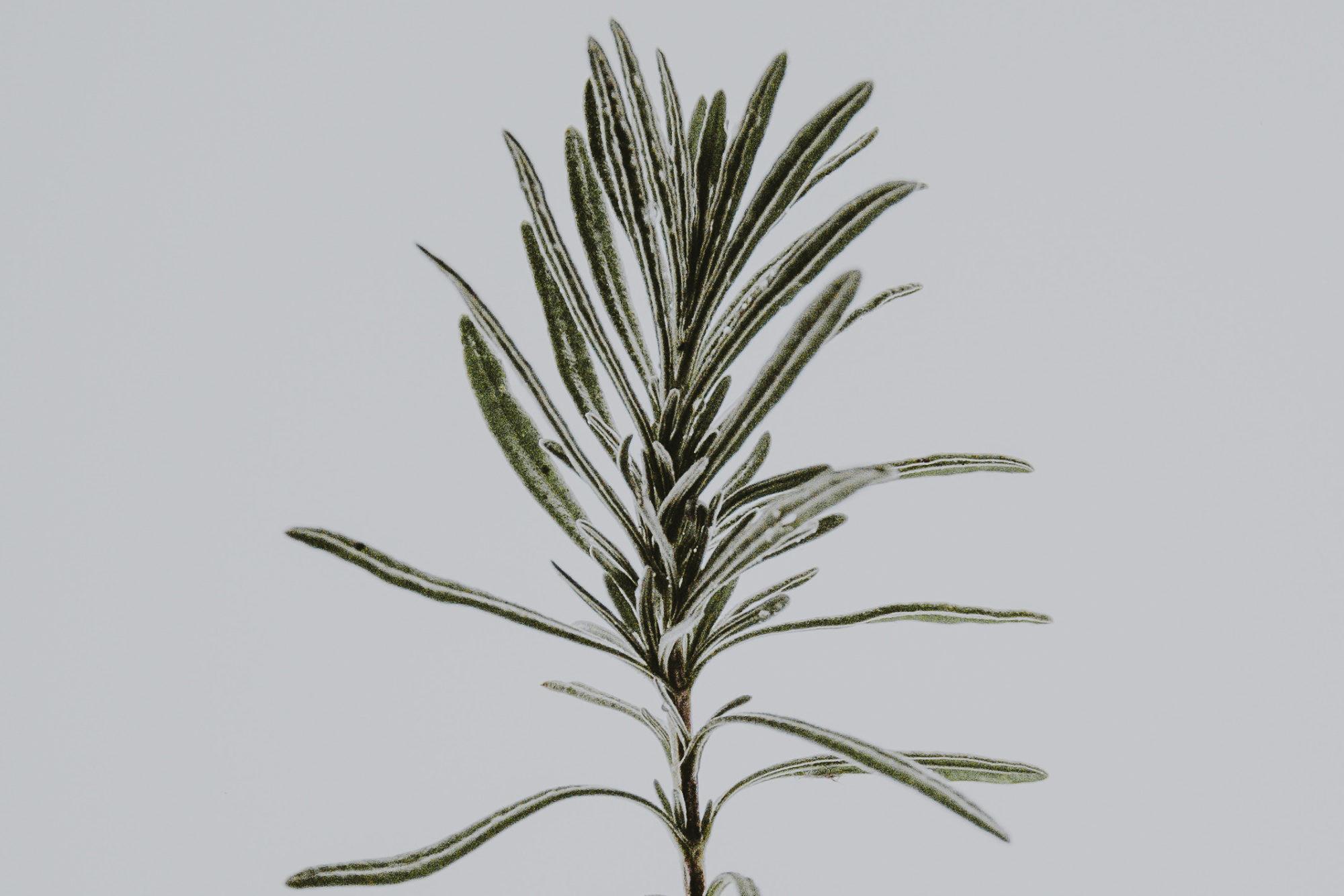 Concello de Muras | Curso de plantas aromáticas e medicinais |