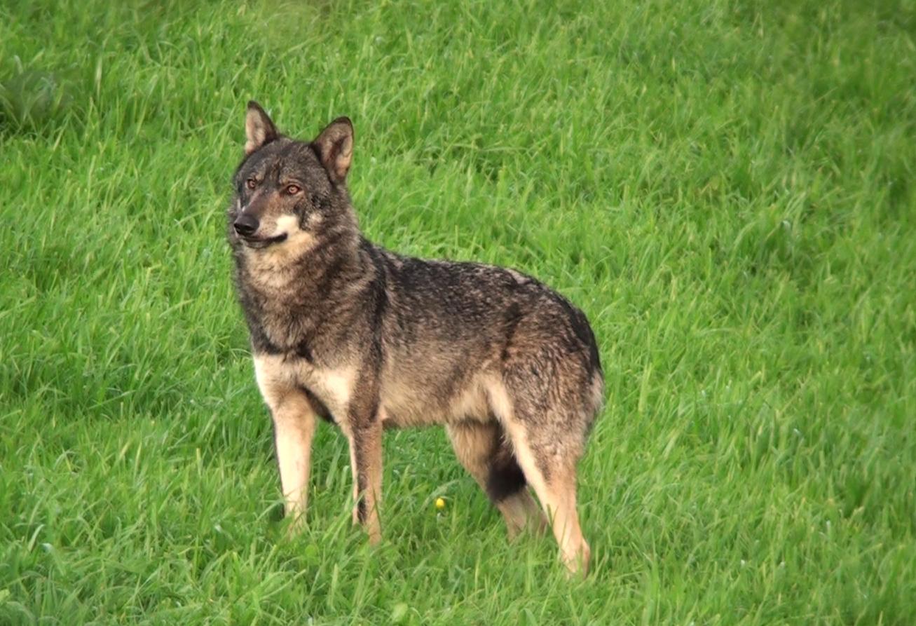 Concello de Muras | Gandería, lobos e espazos protexidos |