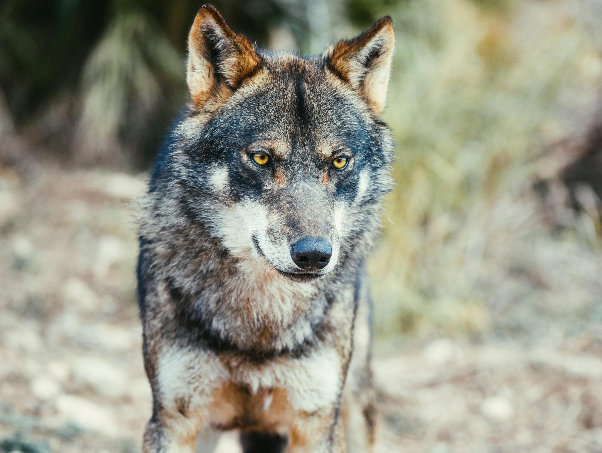 Concello de Muras   Curso prevención ataques lobo  