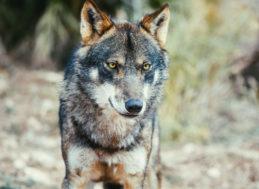 Concello de Muras | Curso prevención ataques lobo |