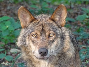 Concello de Muras | Alegacións de Muras aos cambios normativos sobre o lobo |