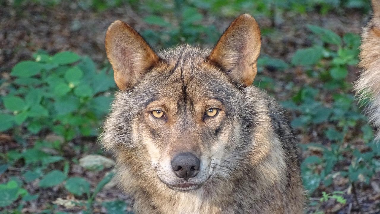 Concello de Muras   Alegacións de Muras aos cambios normativos sobre o lobo  