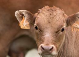 Concello de Muras   Prazos PAC + Importe axudas vacún carne  